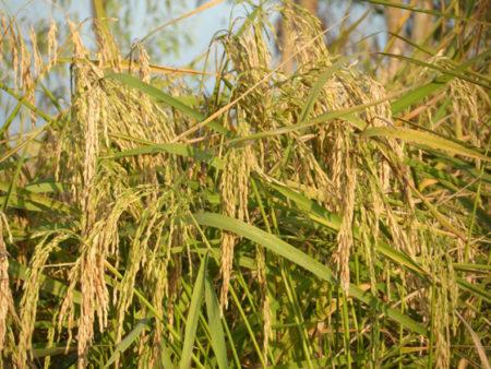 Les Malgaches se fiaient aussi au calendrier agricole
