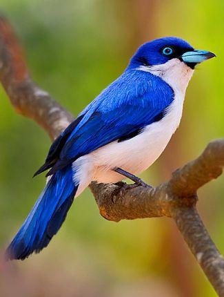 Vanga, l'oiseau qu'on peut retrouver dans le parc d'Ankarafantsika