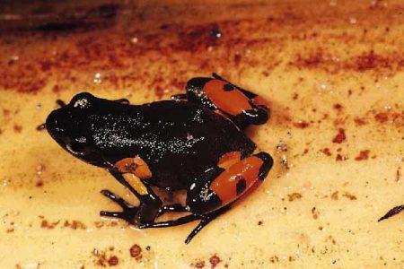 La protection de la biodiversité de Madagascar prend aussi en compte le Mantella Cowana