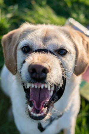 La rage se transmet à la suite d'une morsure de chien porteur du virus rabique