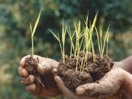 Voici à quoi ressemblent les jeunes plants de riz ou ketsa
