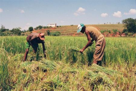 La moisson, dans les étapes de la riziculture à Madagascar, a lieu cinq ou six mois après le repiquage