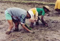 Le repiquage, comme illustré ci-dessus est une grande étape de la riziculture à Madagascar