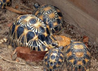 La tortue radiata de Madagascar, le symbole du sud de la grande île