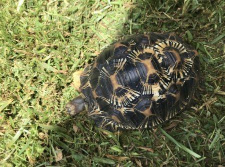 La tortue étoilée doit son nom aux motifs sur sa carapace