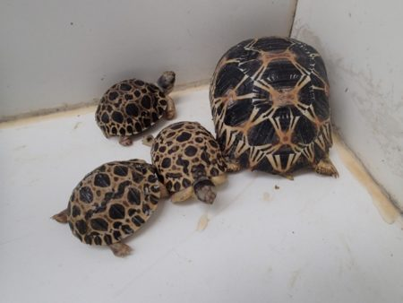 La tortue radiata ne boit pas beaucoup