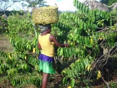 Les femmes passent à la cueillette des fleurs d'ylang-ylang de Madagascar de bonne heure