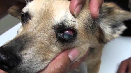 Nettoyez bien les yeux du chien pour éviter qu'il soit malade