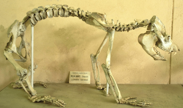The squellette of a giant lemur exhibited at the Paleontological Museum of Tsimbazaza