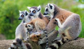 Lemurs are part of the Malagasy biodiversity that increases the value of tourism in Madagascar