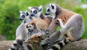 Los lémures forman parte de la biodiversidad malgache que aumenta el valor del turismo en Madagascar
