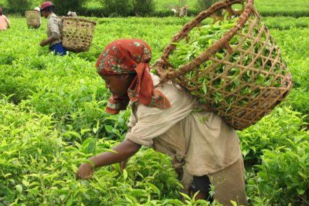 Beber té forma parte de los hábitos alimenticios en Madagascar, pero ¿sabía usted que la plantación Sahambavy era la única producción de té en Madagascar?